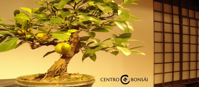 Comprar Bonsai Limonero