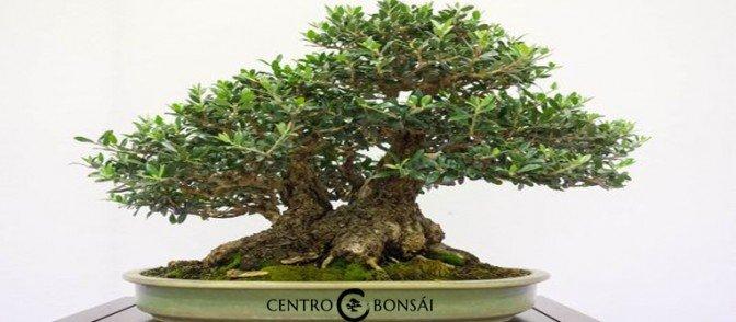 Cuanto vale un olivo oferta archivos centrobonsai - Cuanto vale tapizar un sofa ...