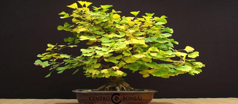 ginkgo biloba bonsai centro bonsai online. Black Bedroom Furniture Sets. Home Design Ideas