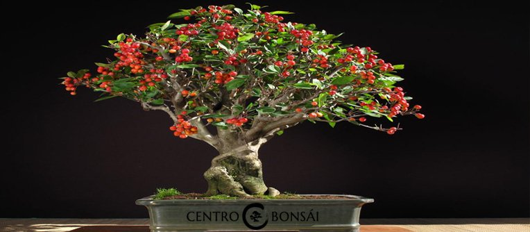 Manzano Bonsai