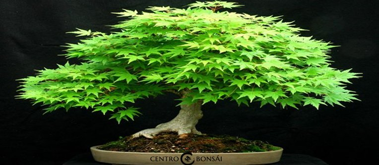 Comprar bonsai arce japones centro bons i online for Comprare bonsai online