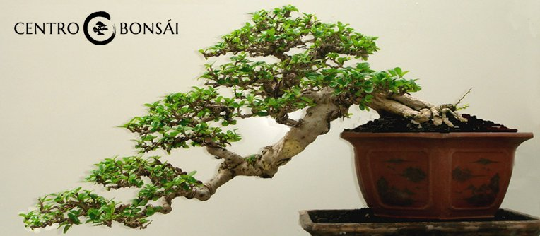 Comprar bonsai carmona centro bonsai online for Comprare bonsai online