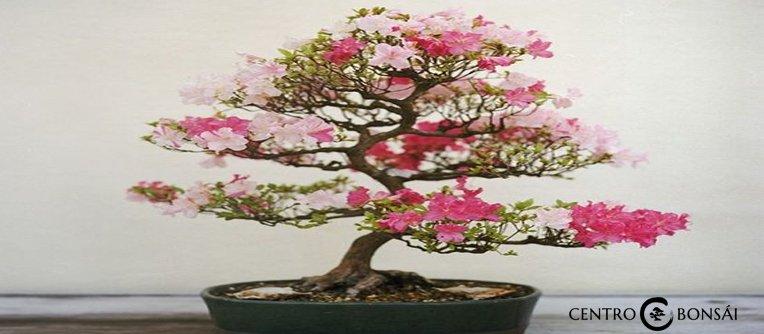 comprar bonsai de cerezo japones