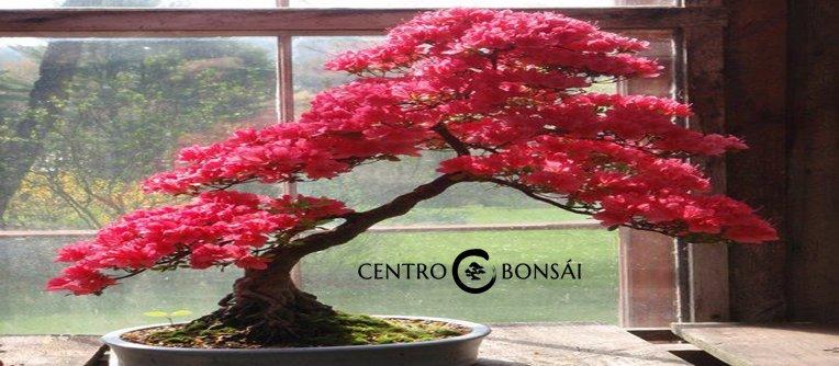 comprar bonsai de japon