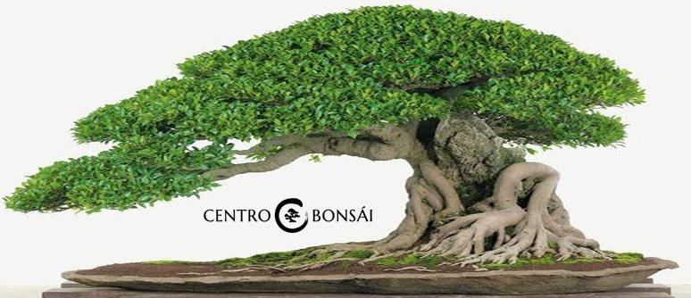 comprar bonsai ficus