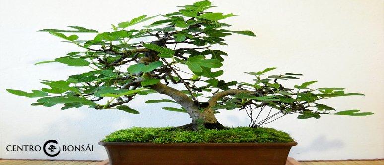 comprar bonsai higuera