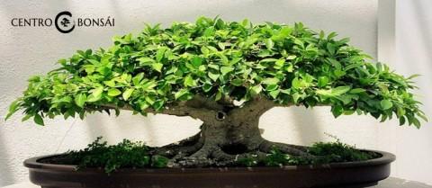 Comprar bonsai hoja perenne economico archivos for Comprare bonsai online