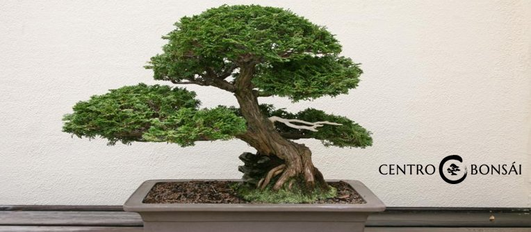 comprar bonsai internet
