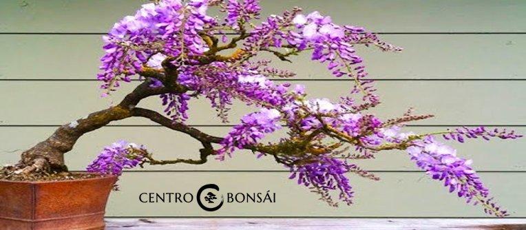 Comprar Bonsai Jacaranda