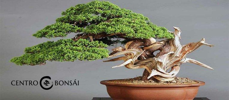 Comprar Bonsai Juniperus Chinensis