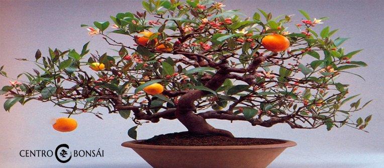 Comprar Bonsai Naranjo