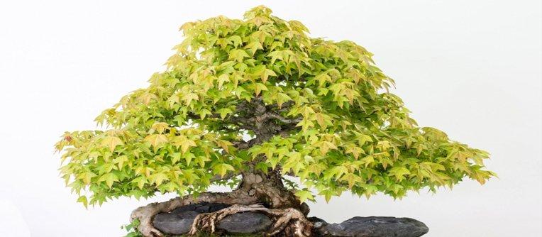 Comprar bonsai palma mallorca centro bonsai online for Comprare bonsai online