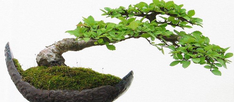 Comprar bonsais online baratos centro bonsai online for Comprare bonsai online