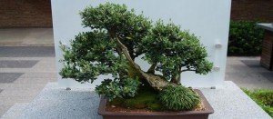comprar bonsai olivo madrid