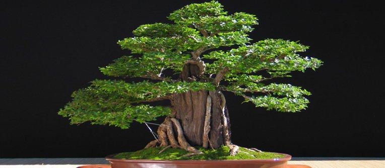 comprar bonsai olmo chino