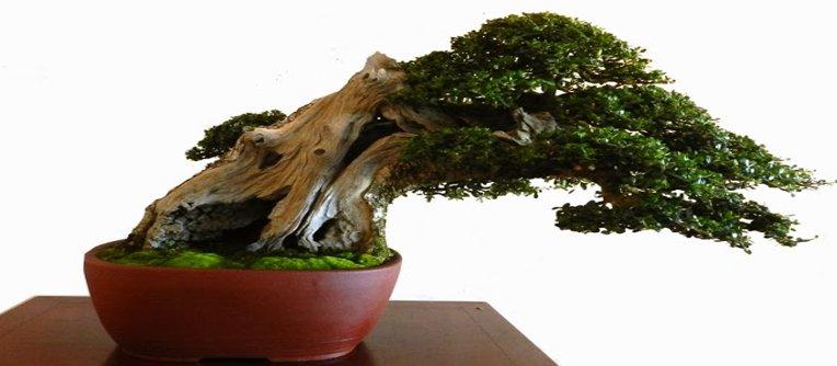 comprar bonsai original