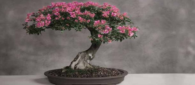 Comprar bonsai para interior centro bonsai online for Bonsais de interior