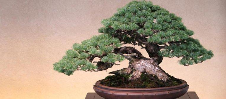 Comprar bonsai pino japones centro bonsai online for Comprare bonsai online