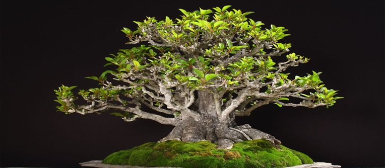 comprar bonsai por internet