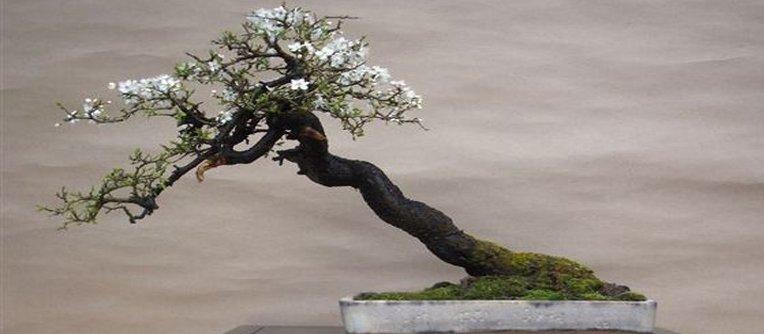 comprar bonsai prunus