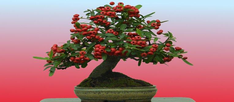 comprar bonsai pyracantha