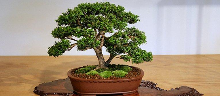 comprar bonsai roble