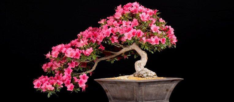 comprar bonsai rododendro