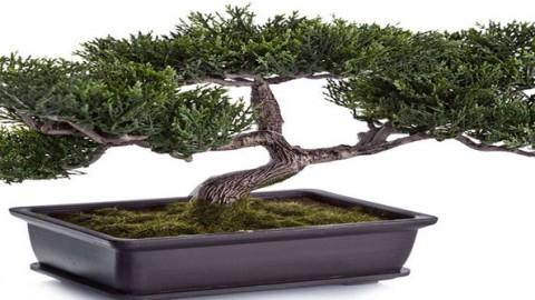 Comprar bonsai manzano centro bonsai online especializado for Comprare bonsai online