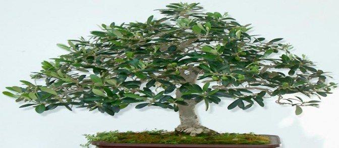 comprar bonsais de olivo