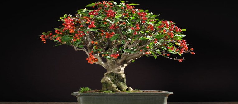 comprar bonsais frutales