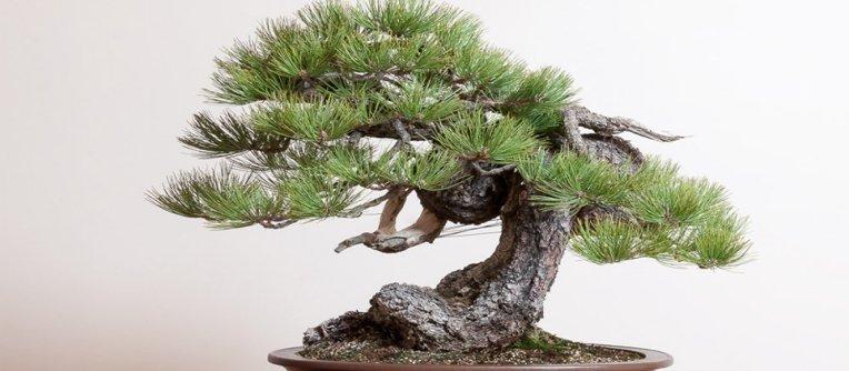 Comprar bonsais online espa a centro bonsai online for Comprare bonsai online