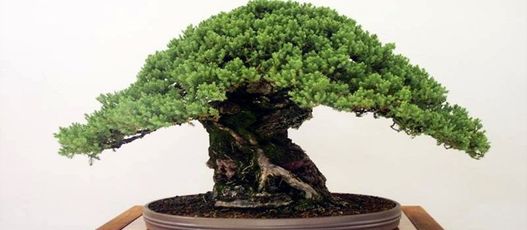 comprar bonsais pino