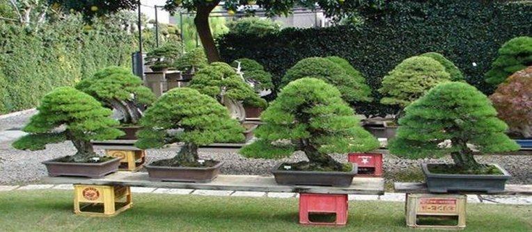 Venta de bonsais al por mayor