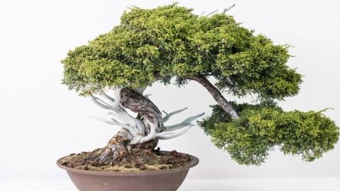 Comprar bonsai madrid centro bonsai online for Comprare bonsai online