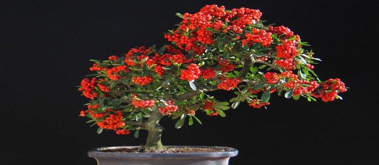 donde comprar bonsais frutales