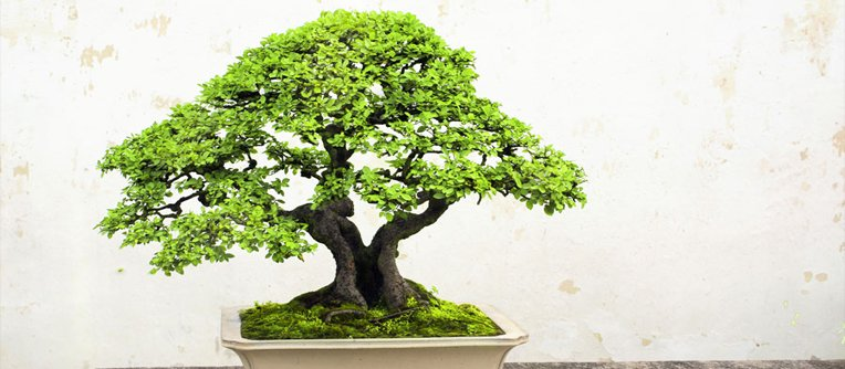 que bonsai comprar para empezar