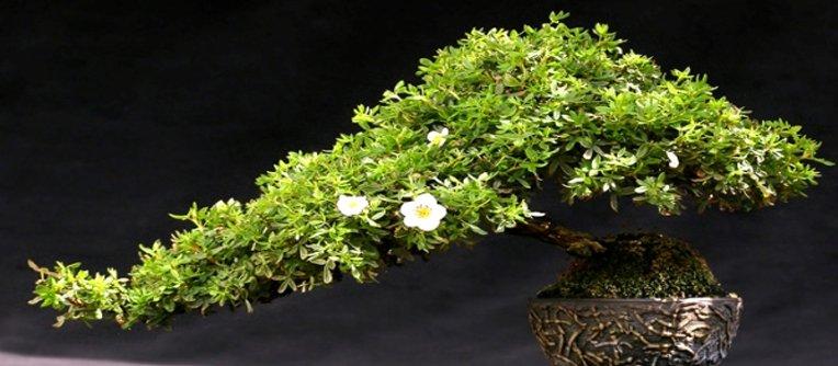 Comprar bonsai Gijon