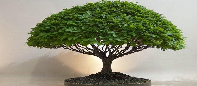 Comprar bonsai Granollers