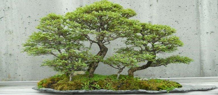 Comprar bonsai Guadalajara