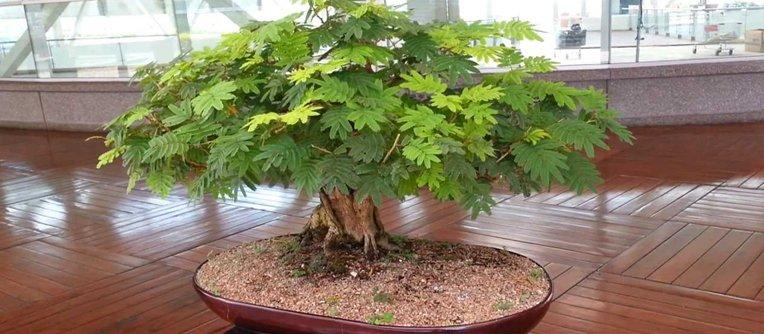 Comprar bonsái Murcia