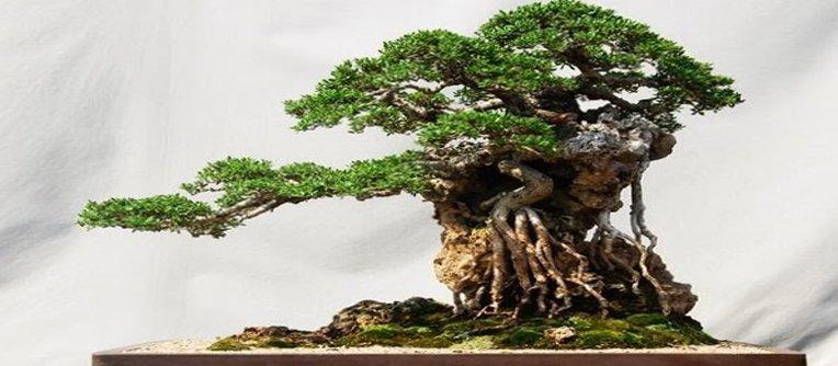 Comprar bonsái Oviedo