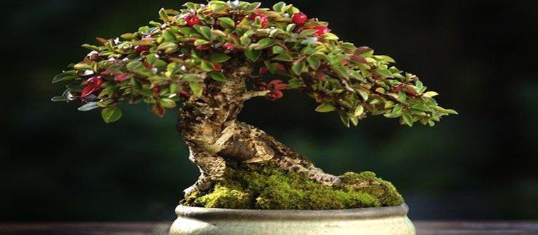 Comprar bonsái Pamplona