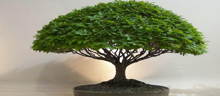 Comprar bonsái Sabadell
