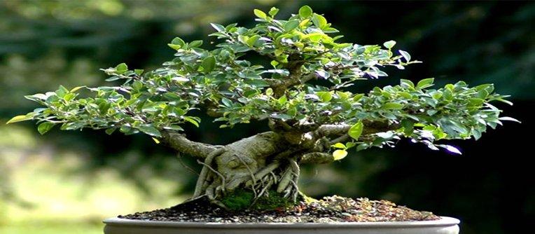 Comprar bonsái Santiago