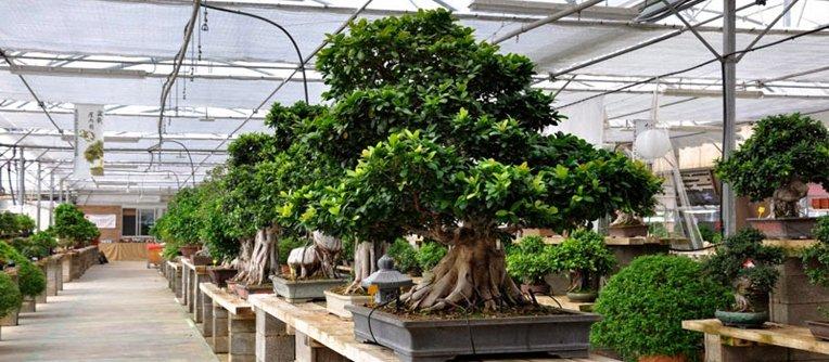 Comprar bonsái Tarragona