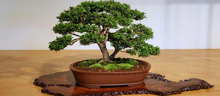 Comprar bonsái Terrassa