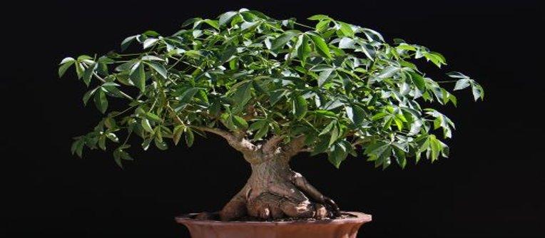 Comprar bonsái Valladolid
