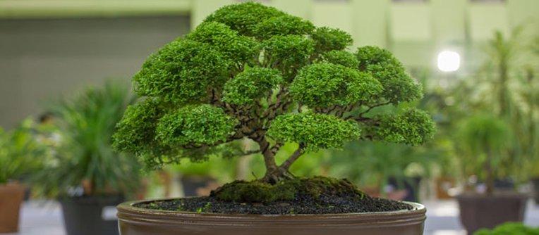 Comprar bonsái vigo