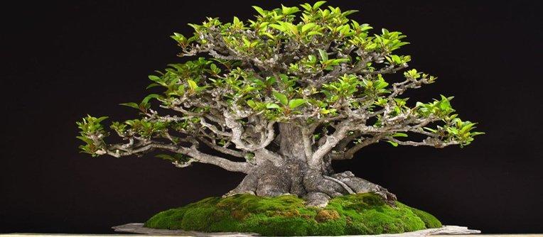 Comprar bonsáis Alicante