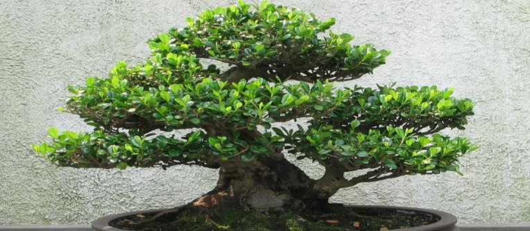 Comprar bonsáis Vitoria